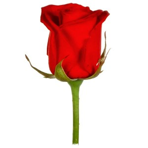 The Birthday Rose